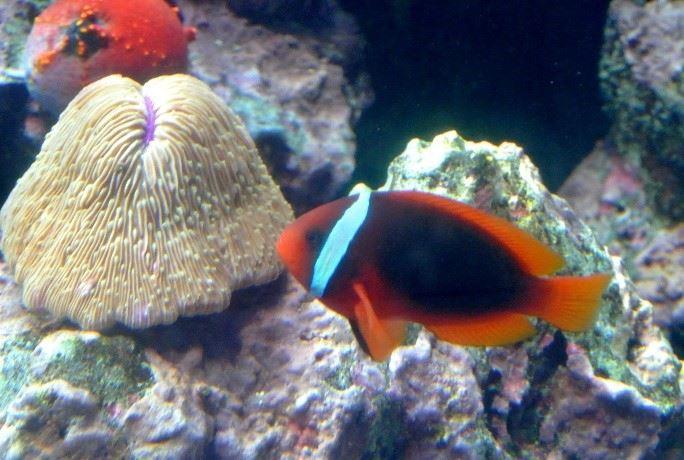 「海洋生物名稱面面觀」課程認識小丑魚(陳勇輝老師提供)。