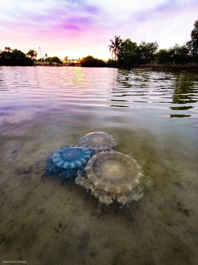 林園海洋濕地公園的倒立水母(陳俊強老師拍攝)。