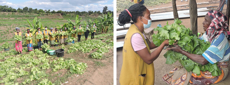 莫三比克慈濟志工在大愛農場採收作物,並將採收的新鮮蔬菜送到貧戶手中。/莫三比克慈濟志工在大愛農場採收作物,並將採收的新鮮蔬菜送到貧戶手中。