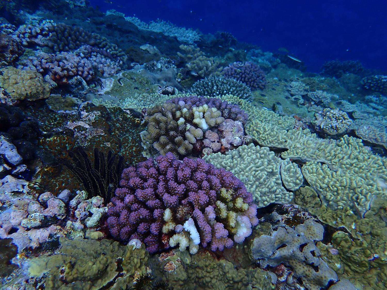 蘭嶼海域的珊瑚覆蓋度極高,但指標性魚類卻很少。