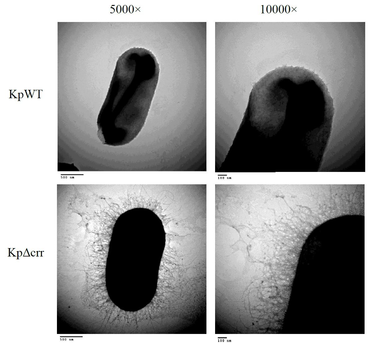 利用電子顯微鏡觀察野生株(KpWT)與crr突變株(KpΔcrr)菌體外之物質。發現到突變株會產生較多的夾膜多醣體(CPS)的物質。